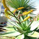 My Old Cacti Garden 3 Aloe Plicatilis Fan Aloe and Ferox