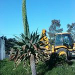 Agave Attenuata in Flower