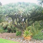 Dracaena Draco Dragon Tree at Melbourne Botanic Gardens
