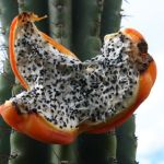 Cerus Fruit with Seeds