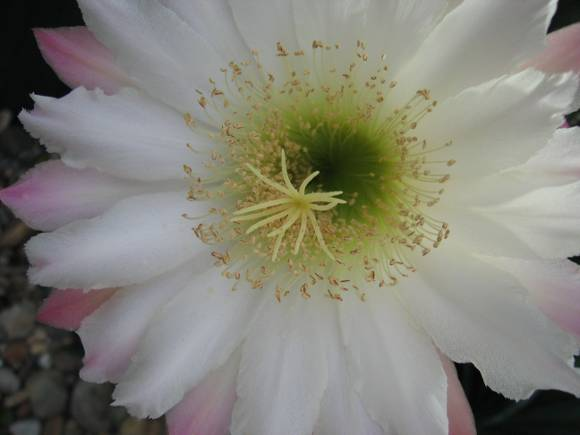 Amazing Cactus Flower