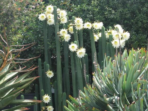 San Pedro cacti flowering