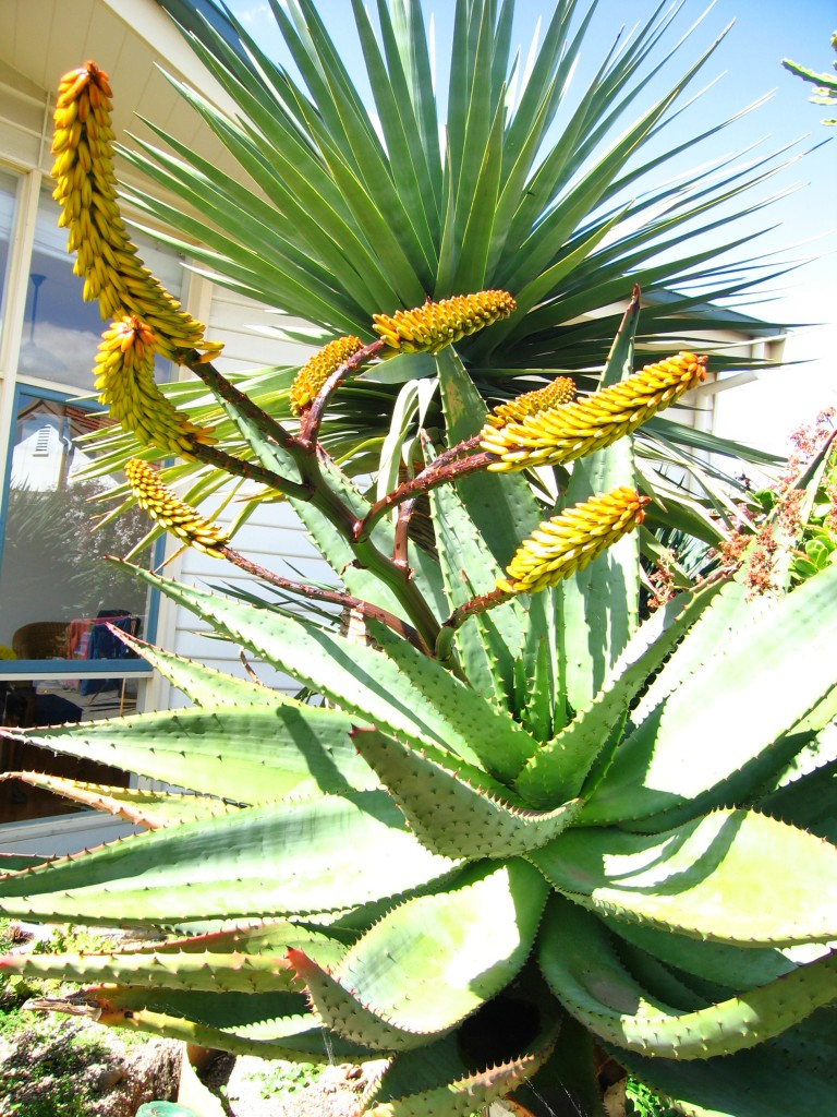 Aloe Forex in flower