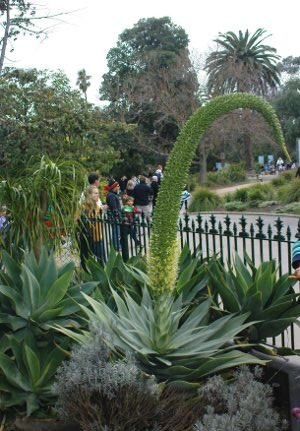 agave-attenuata-flowering at Melbourne Zoo