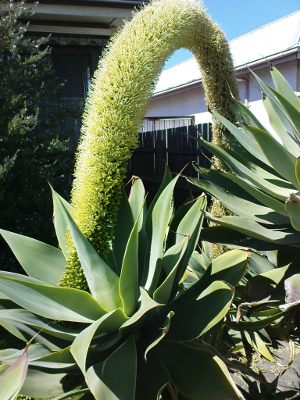 agave-attenuata-flowering in Melbourne