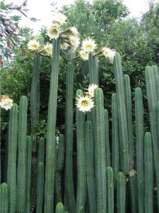 The mother San Pedro cacti in flower