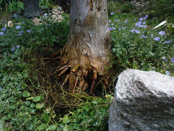 draco-transplanting-roots