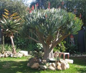 Aloe-Ferox-flower2