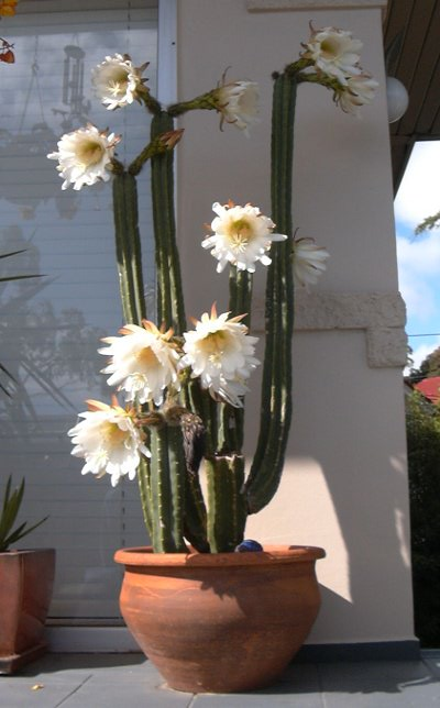 San Pedro Flowering On a Patio in a Pot