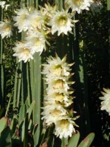 San Pedro massive cactus in full flower