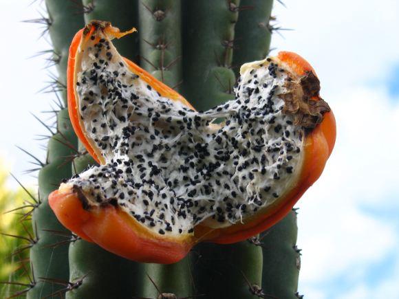 Cerus columnar cactus fruit and seeds
